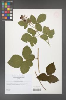 Rubus dollnensis [KOR 51815]