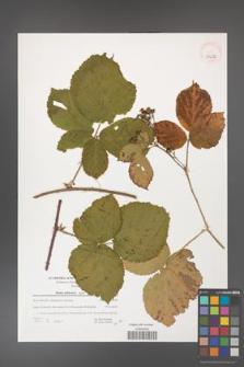 Rubus dollnensis [KOR 39682]