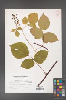 Rubus dollnensis [KOR 39687]