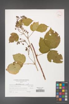 Rubus dollnensis [KOR 39660]