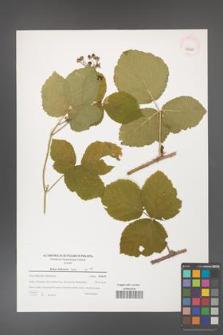 Rubus dollnensis [KOR 39690]