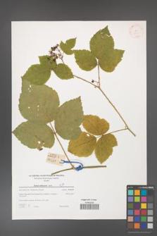 Rubus dollnensis [KOR 38850]