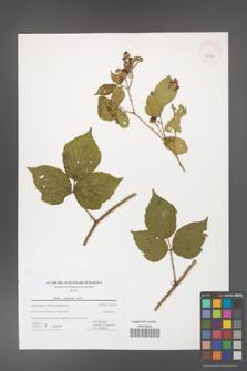 Rubus dollnensis [KOR 42716]