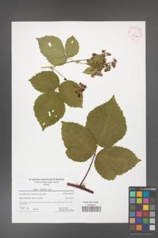 Rubus dollnensis [KOR 42347]