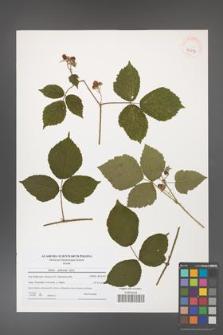 Rubus dollnensis [KOR 40817]