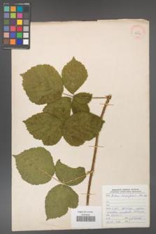 Rubus dollnensis [KOR 29904]