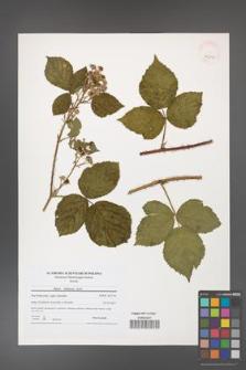 Rubus dollnensis [KOR 40797]