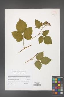 Rubus dollnensis [KOR 40794]