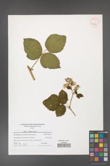 Rubus dollnensis [KOR 41203]