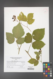 Rubus dollnensis [KOR 41581]