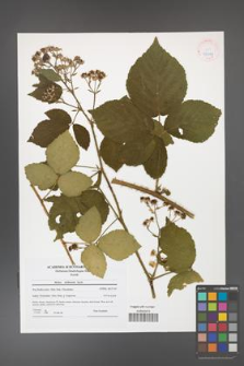 Rubus dollnensis [KOR 42029]