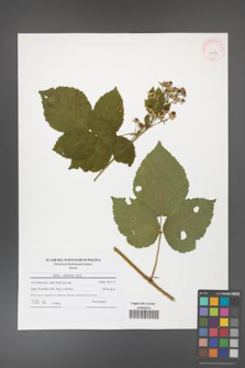 Rubus dollnensis [KOR 42173]