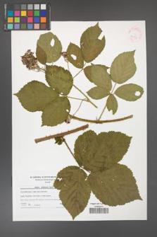 Rubus dollnensis [KOR 41533]