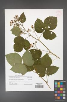 Rubus dollnensis [KOR 42169]