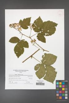 Rubus dollnensis [KOR 42154]