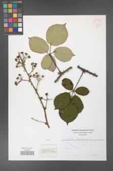 Rubus bifrons [KOR 53828]