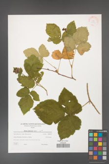 Rubus dollnensis [KOR 38864]