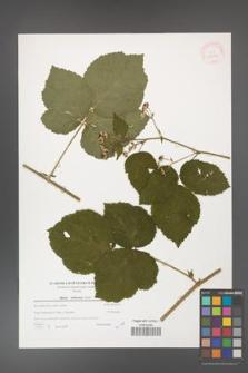 Rubus dollnensis [KOR 39766]