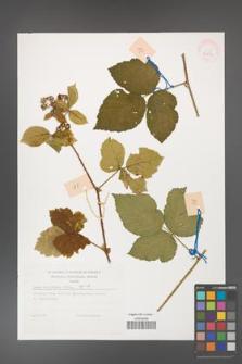 Rubus dollnensis [KOR 32277]
