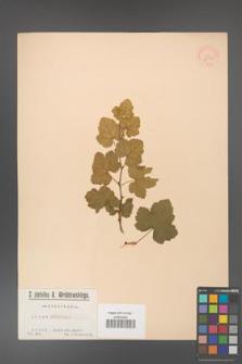Rubus deliciosus [KOR 36377]