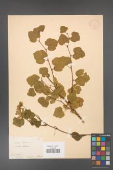 Rubus deliciosus [KOR 18444]