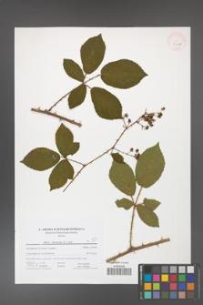 Rubus divaricatus [KOR 41647]