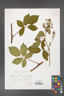 Rubus divaricatus [KOR 39074]
