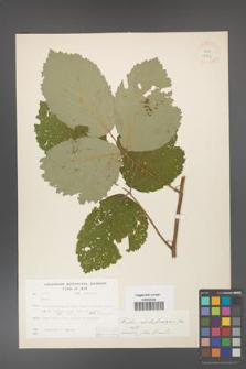 Rubus dolichocarpus [KOR 18456]