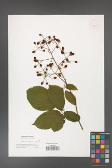 Rubus dolichocarpus [KOR 40111]