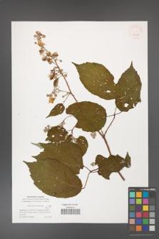 Rubus dolichocarpus [KOR 40112]