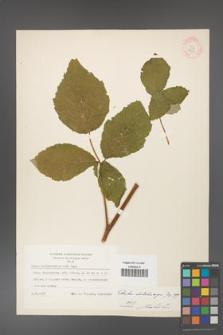Rubus dolichocarpus [KOR 18453]