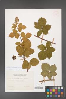 Rubus corylifolius [KOR 30037]