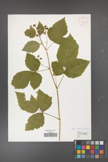 Rubus curvaciculatus [KOR 40138]