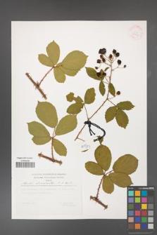 Rubus divaricatus [KOR 29797]