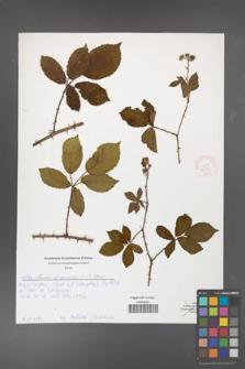 Rubus divaricatus [KOR 51986]