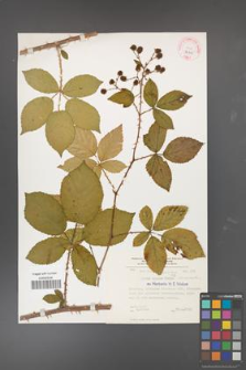 Rubus divaricatus [KOR 32305]