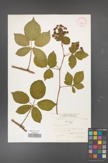 Rubus divaricatus [KOR 32304]