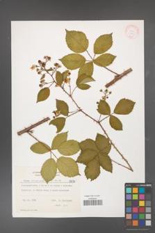 Rubus divaricatus [KOR 8876]