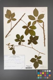 Rubus divaricatus [KOR 50891]
