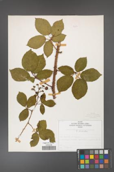 Rubus divaricatus [KOR 50294]
