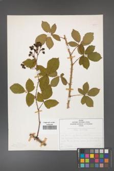 Rubus divaricatus [KOR 50293]