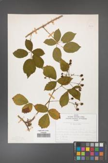 Rubus divaricatus [KOR 50292]