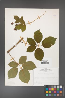 Rubus divaricatus [KOR 50287]