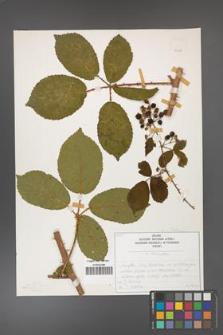 Rubus divaricatus [KOR 50286]