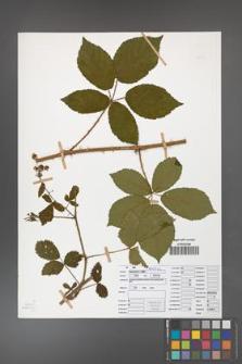 Rubus divaricatus [KOR 50273]