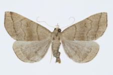 Herminia tarsicrinalis