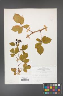 Rubus divaricatus [KOR 50281]
