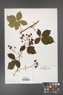 Rubus divaricatus [KOR 50278]