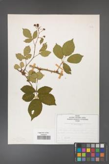 Rubus divaricatus [KOR 50276]