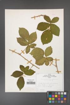Rubus divaricatus [KOR 50272]